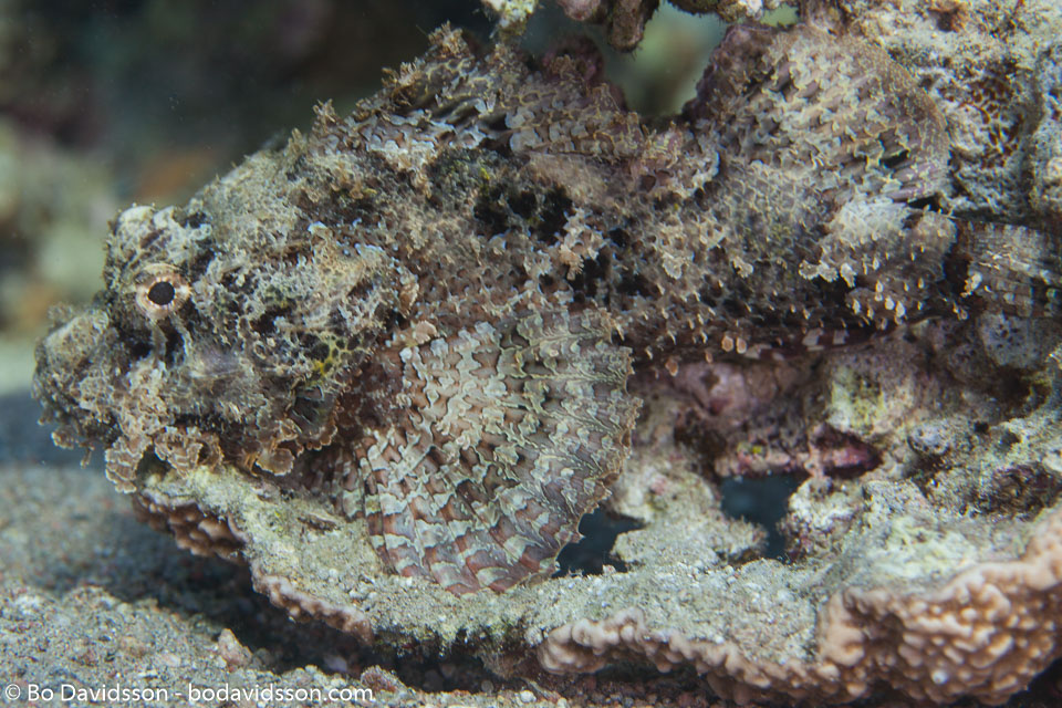 BD-121129-Aqaba-7683-Scorpaenopsis-barbata-(Rüppell.-1838)-[Bearded-scorpionfish].jpg